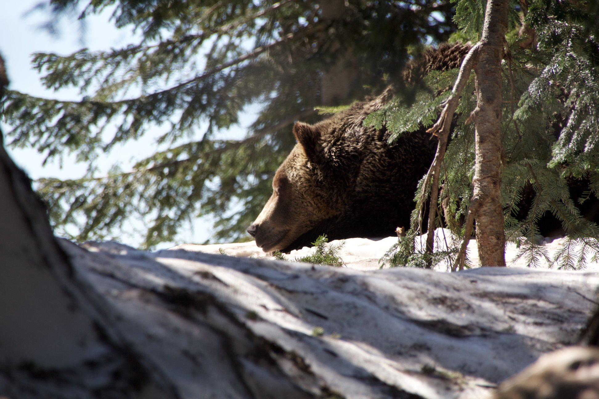 Grizzly im Grouse Mountain Refugium in Nord Vancouver